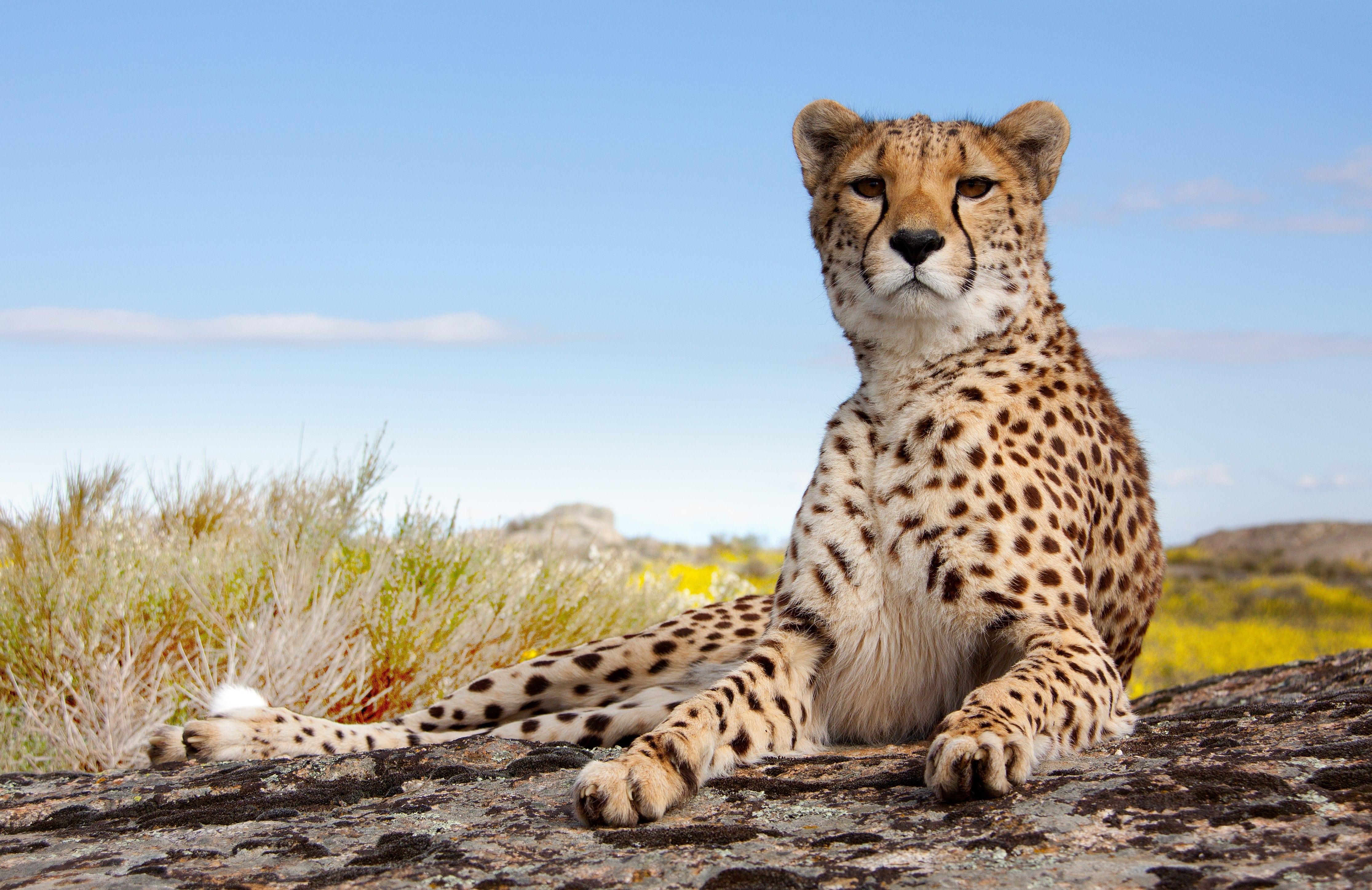 Resting but vigilant cheetah looks straight at observer